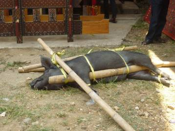 The ceremony involves scarifying buffaloes and pigs.